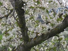 Almond tree in bloom, Spain