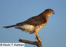 Cooper's Hawk Immature - Cornell
