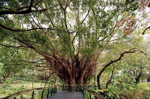 Giant Banyan