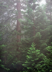 Redwoods in Steep Ravine
