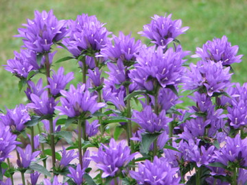 Purple campanula glomerata 2007