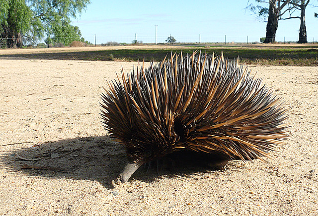 Echidna / Spiny Ant Eater .. Series of 3