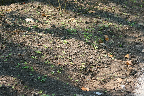 Field Pennycress sprouting