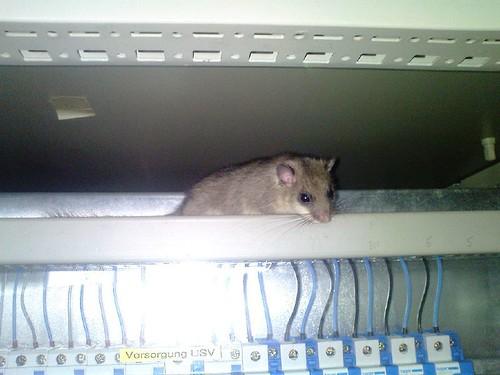Maus im Schaltschrank 1