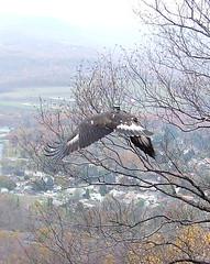 golden eagle over Bald Eagle Valley