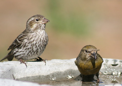 female and juvenile red crossbill