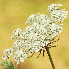 Queen Anne's Lace on Yellow