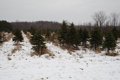 06-Christmas Tree Farm