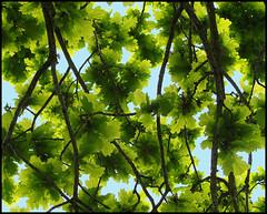 Quercus Robur Leaves