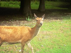 Deer at Flock Hill