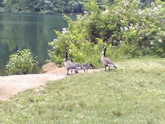 geese at a park (with baby geeses! awww)
