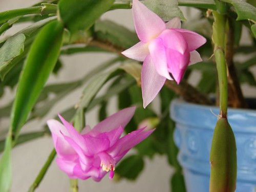 The Christmas cactus bloomed