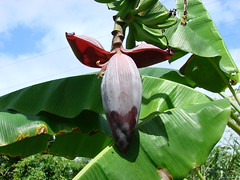 Flor silvestre 91 (1) (Cambur) [Wild flower 91...