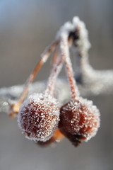 Frosty Fruits