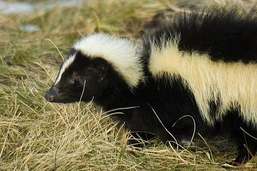 Eastern Skunk