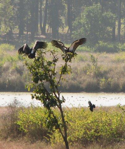 vultures landing on tree 2312