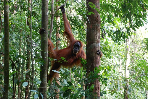Orang-Utan zwischen den Bäumen
