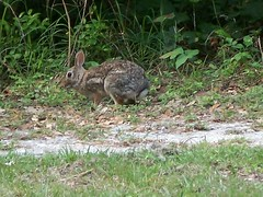 A rabbit at Goose Island State Park