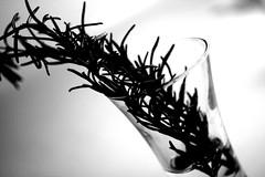 Rosemary in stark black and white