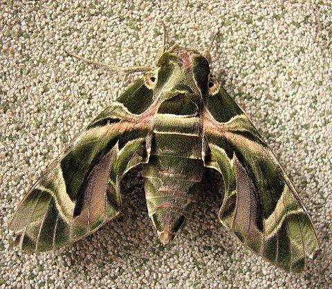 Un id moth casa ansal 221007