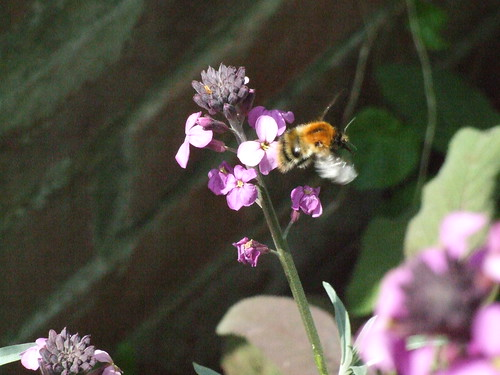 A bee flying round in my parents garden