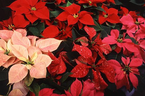 Poinsettia-craciunita-floarea-craciunului