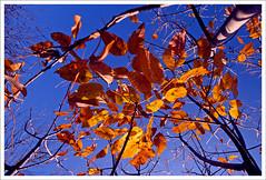 Ash Tree in Fall