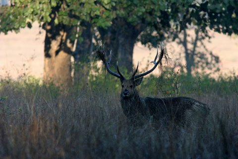 barasingha with grass in antlers kanha 221207