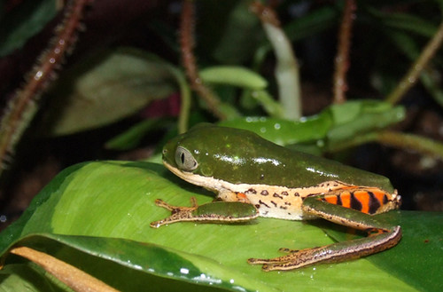 Tiger-leg Monkey Tree Frog