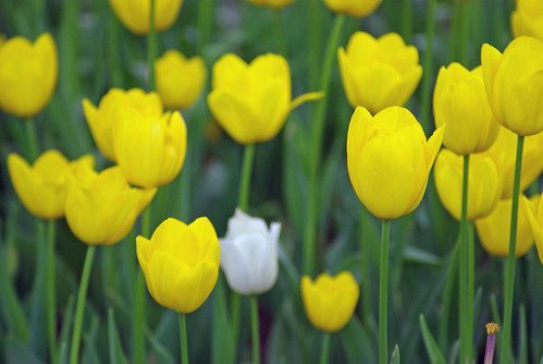 yellow tulips and white tulip, istanbul tulip festival, istanbul, pentax k10d