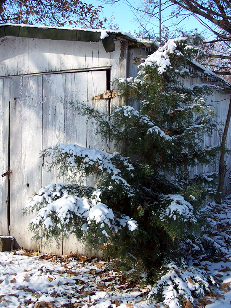 Evergreen & Shed