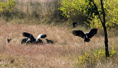 vultures feeding off a kill 231207