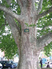 An old tree in Cully