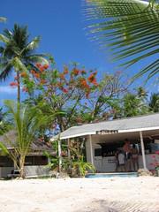 Flamboyant tree, Tobago