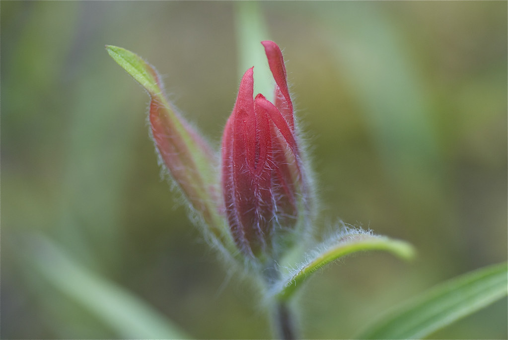 Indian Paintbrush, Common Red Paintbrush
