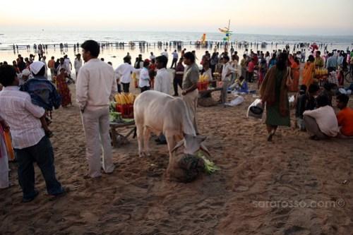 Cow eating Corn on Juhu Beach, Mumbai - Bombay, India