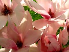 never enough magnolias