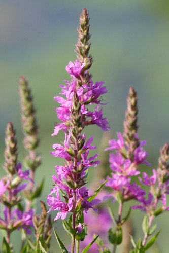Purple Loosestrife 2