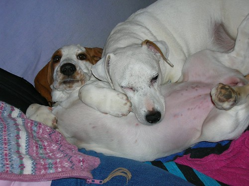 A favorite photo of Mugsy and Sissy snuggling me