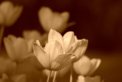 white tulips, Istanbul Tulip Festival, Pentax K10D