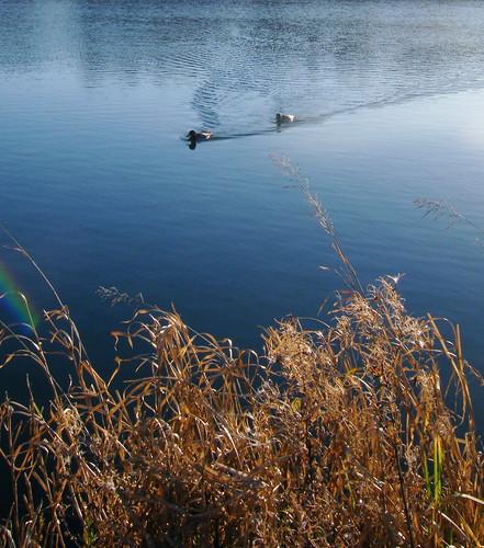 Ducks on Lochan