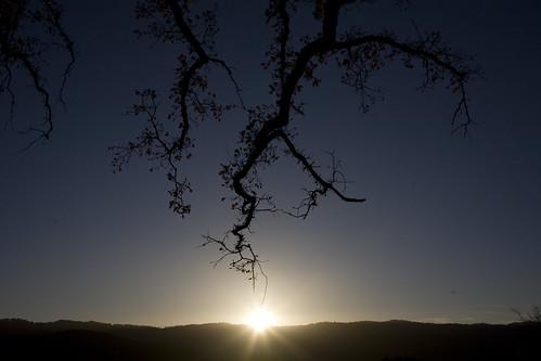 The golden oak tree