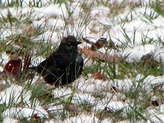 Rusty Blackbird, Euphagus carolinus (@ Frozen ...