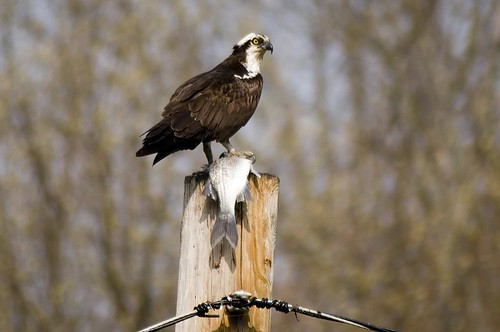 Osprey and White Bass