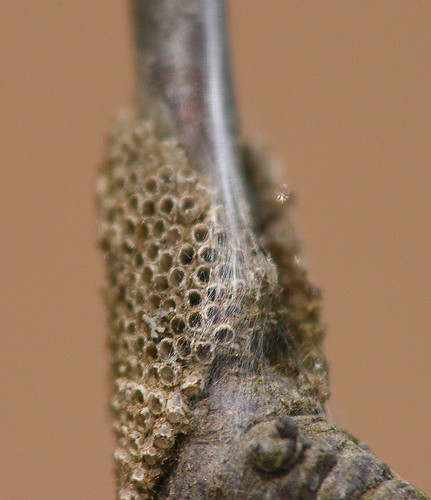 Eastern Tent Caterpillar hatched eggs