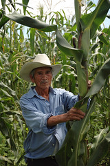 Mexican farmer in his maize plot, growing the ...