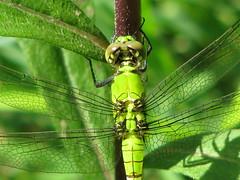 Eastern pondhawk. Flickr photo by Vicki DeLoach. Click for original