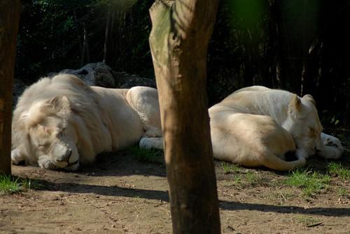 Weiße Löwen Jabu und Nikita  im Zoo de La Flèche