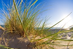 Grasses on a Dune