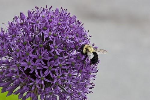 allium+bee